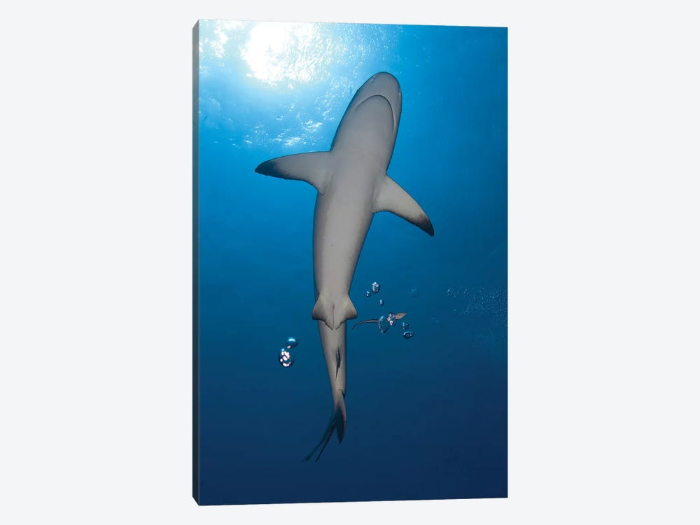Gray Reef Shark With Remora, Papua New Guinea by Steve Jones 1-piece Canvas Print