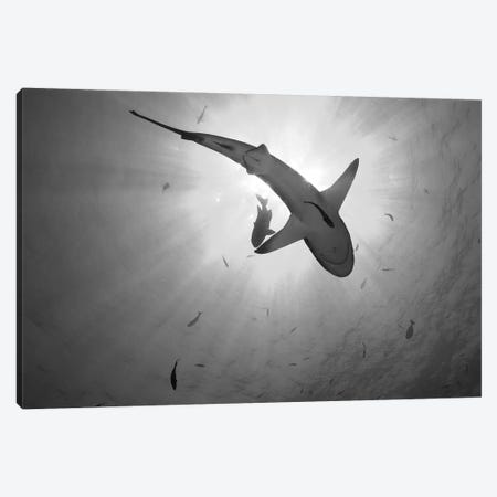 Gray Reef Shark, Kimbe Bay, Papua New Guinea Canvas Print #TRK2137} by Steve Jones Canvas Print