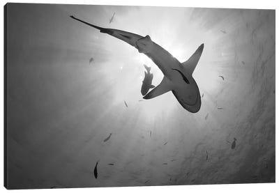 Gray Reef Shark, Kimbe Bay, Papua New Guinea Canvas Art Print