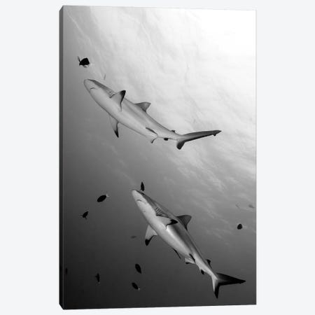 Gray Reef Sharks Papua New Guinea Canvas Print #TRK2138} by Steve Jones Canvas Artwork