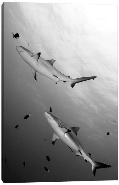 Gray Reef Sharks Papua New Guinea Canvas Art Print