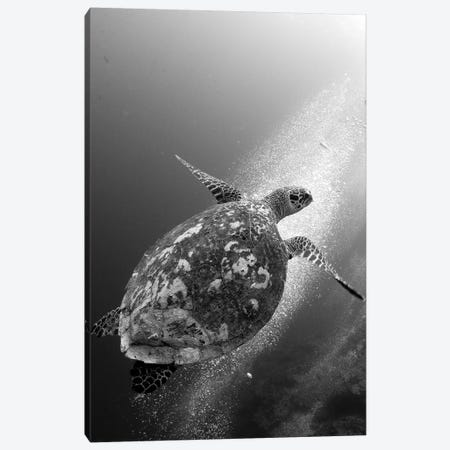 Hawksbill Turtle Ascending Against A Colony Of Bubbles Canvas Print #TRK2139} by Steve Jones Canvas Art