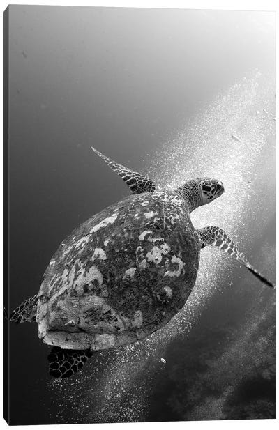 Hawksbill Turtle Ascending Against A Colony Of Bubbles Canvas Art Print
