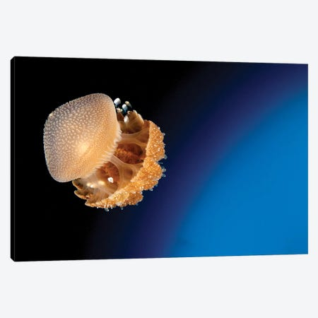 Rhizostome Jellyfish, Tulamben, Bali, Indonesia I Canvas Print #TRK2140} by Steve Jones Art Print