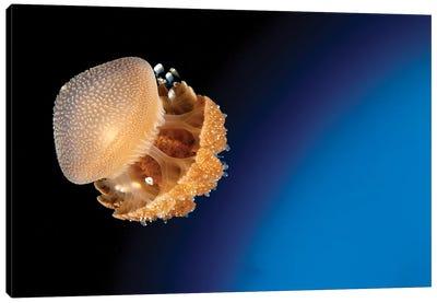 Rhizostome Jellyfish, Tulamben, Bali, Indonesia I Canvas Art Print