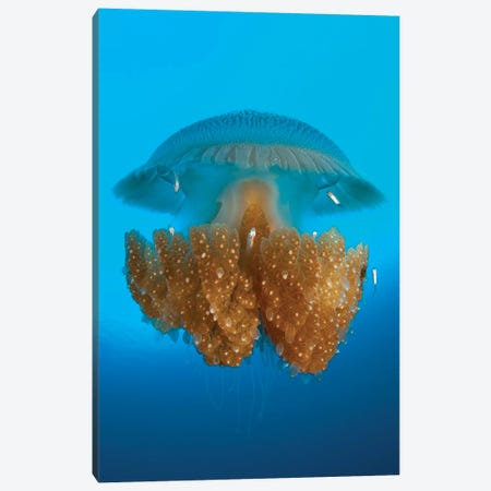 Rhizostome Jellyfish, Tulamben, Bali, Indonesia II Canvas Print #TRK2141} by Steve Jones Canvas Print