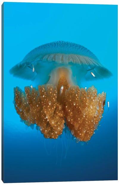 Rhizostome Jellyfish, Tulamben, Bali, Indonesia II Canvas Art Print