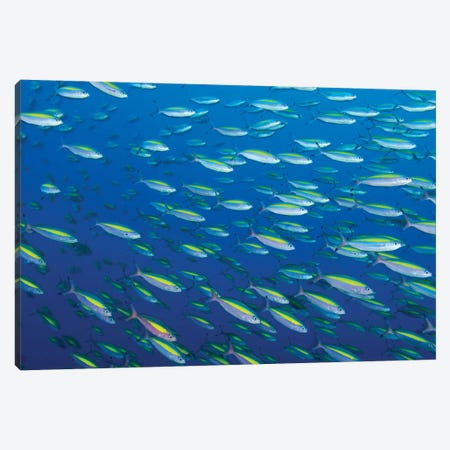 School Of Wide-Band Fusilier Fish, Papua New Guinea Canvas Print #TRK2142} by Steve Jones Canvas Art Print