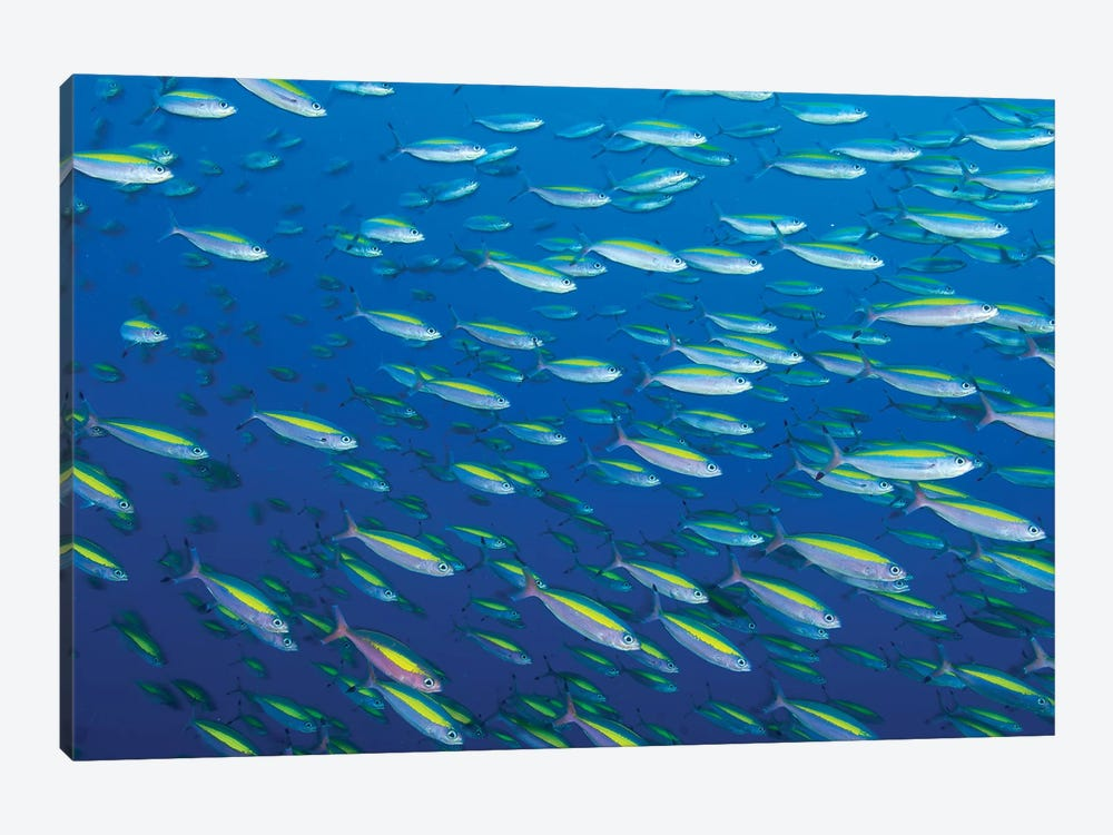 School Of Wide-Band Fusilier Fish, Papua New Guinea by Steve Jones 1-piece Canvas Artwork