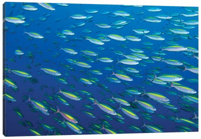 School Of Wide-Band Fusilier Fish, Papua New Guinea Canvas Art Print