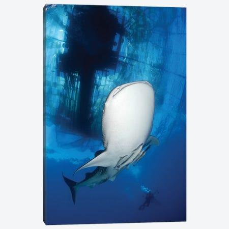 Whale Shark Feeding Under Fishing Platform, West Papua I Canvas Print #TRK2144} by Steve Jones Canvas Artwork