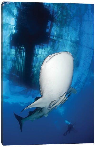 Whale Shark Feeding Under Fishing Platform, West Papua I Canvas Art Print