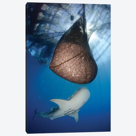 Whale Shark Feeding Under Fishing Platform, West Papua II Canvas Print #TRK2145} by Steve Jones Canvas Art