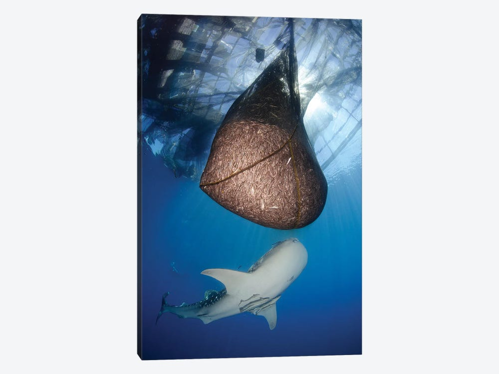 Whale Shark Feeding Under Fishing Platform, West Papua II by Steve Jones 1-piece Art Print