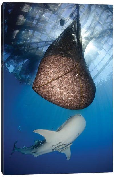 Whale Shark Feeding Under Fishing Platform, West Papua II Canvas Art Print