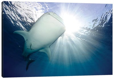 Whale Shark Feeding Under Fishing Platform, West Papua III Canvas Art Print