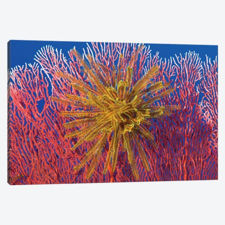 Yellow Feather Star On Red Sea Fan, Papua New Guinea Canvas Print #TRK2148} by Steve Jones Canvas Art Print