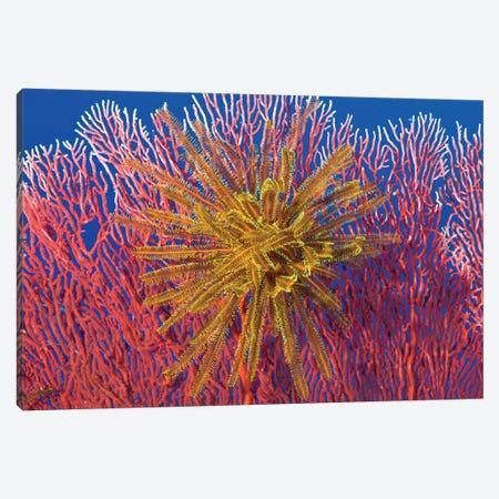 Yellow Feather Star On Red Sea Fan, Papua New Guinea Canvas Print #TRK2148} by Steve Jones Canvas Art Print