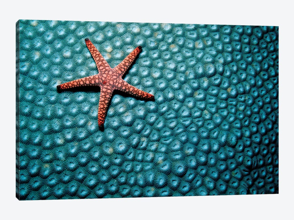 A Fromia Species Sea Star Grazing On A Sponge In The Indo-Pacific Ocean 1-piece Art Print