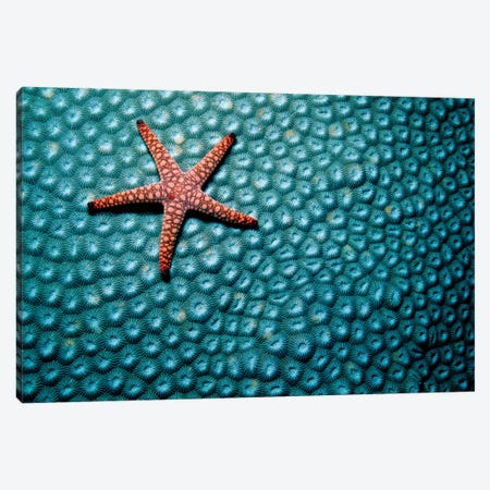A Fromia Species Sea Star Grazing On A Sponge In The Indo-Pacific Ocean Canvas Print #TRK2149} by VWPics Art Print