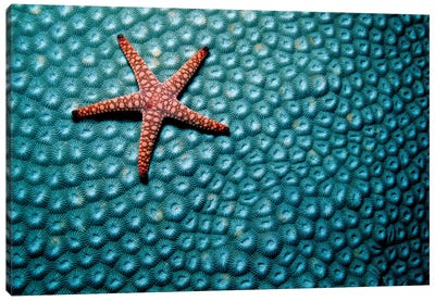 A Fromia Species Sea Star Grazing On A Sponge In The Indo-Pacific Ocean Canvas Art Print