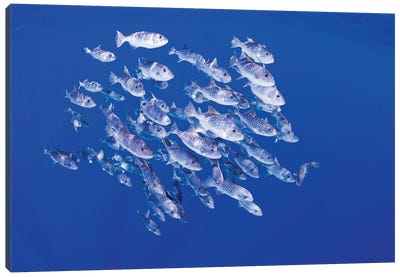 A School Of Spotted Oceanic Triggerfish Swimming In The Open Ocean Of Hawaii Canvas Art Print