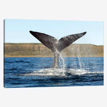 A Southern Right Whale Raises Its Tail Above The Surface Of The Sea, Argentina Canvas Print #TRK2154} by VWPics Canvas Art Print