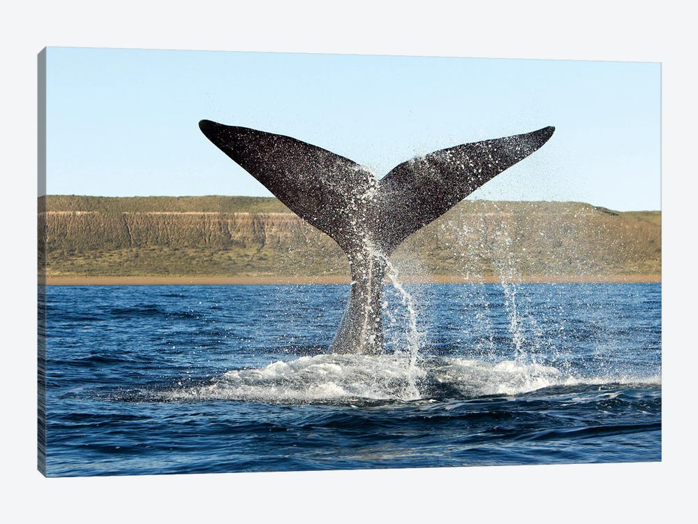 A Southern Right Whale Raises Its Tail Above The Surface Of The Sea, Argentina by VWPics 1-piece Canvas Print