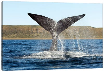 A Southern Right Whale Raises Its Tail Above The Surface Of The Sea, Argentina Canvas Art Print