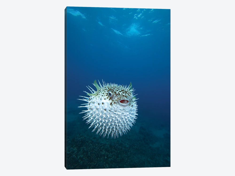 A Spotted Porcupinefish (Diodon Hystrix), Maui, Hawaii by VWPics 1-piece Canvas Print
