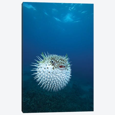 A Spotted Porcupinefish (Diodon Hystrix), Maui, Hawaii Canvas Print #TRK2156} by VWPics Canvas Art Print