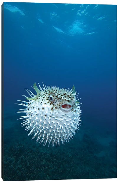 A Spotted Porcupinefish (Diodon Hystrix), Maui, Hawaii Canvas Art Print