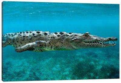 American Crocodile (Crocodylus Acutus) At Jardines De La Reina In Cuba Canvas Art Print