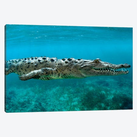American Crocodile (Crocodylus Acutus) At Jardines De La Reina In Cuba Canvas Print #TRK2158} by VWPics Canvas Art