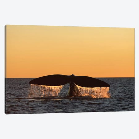 An Adult Southern Right Whale Breaching The Waters Off Argentina Canvas Print #TRK2159} by VWPics Canvas Art