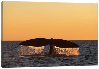 An Adult Southern Right Whale Breaching The Waters Off Argentina Canvas Art Print