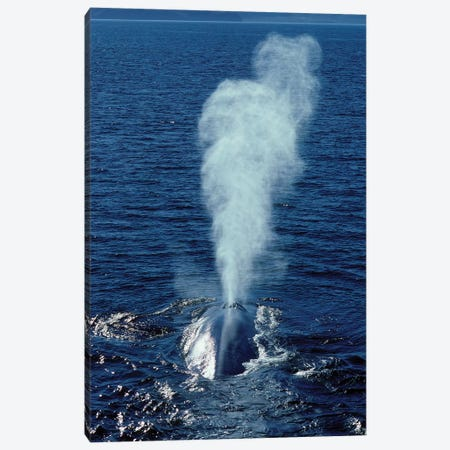 Blue Whale Photographed In The Gulf Of California, Mexico Canvas Print #TRK2161} by VWPics Canvas Print