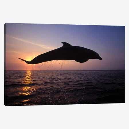 Bottlenose Dolphin In The Caribbean, Off Roatan Island, Honduras I Canvas Print #TRK2162} by VWPics Canvas Art Print