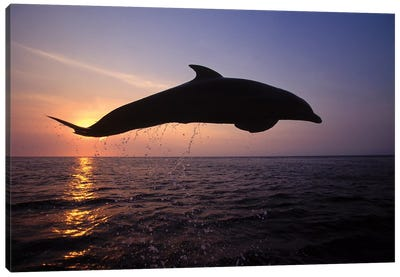 Bottlenose Dolphin In The Caribbean, Off Roatan Island, Honduras I Canvas Art Print
