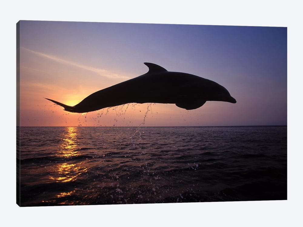 Bottlenose Dolphin In The Caribbean, Off Roatan Island, Honduras I 1-piece Canvas Wall Art