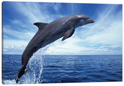 Bottlenose Dolphin In The Caribbean, Off Roatan Island, Honduras II Canvas Art Print