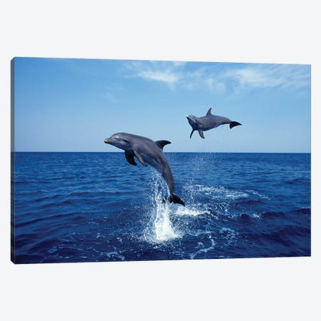 Bottlenose Dolphin In The Caribbean, Off Roatan Island, Honduras IV Canvas Print #TRK2165} by VWPics Canvas Art