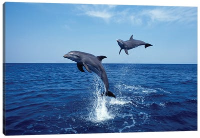 Bottlenose Dolphin In The Caribbean, Off Roatan Island, Honduras IV Canvas Art Print