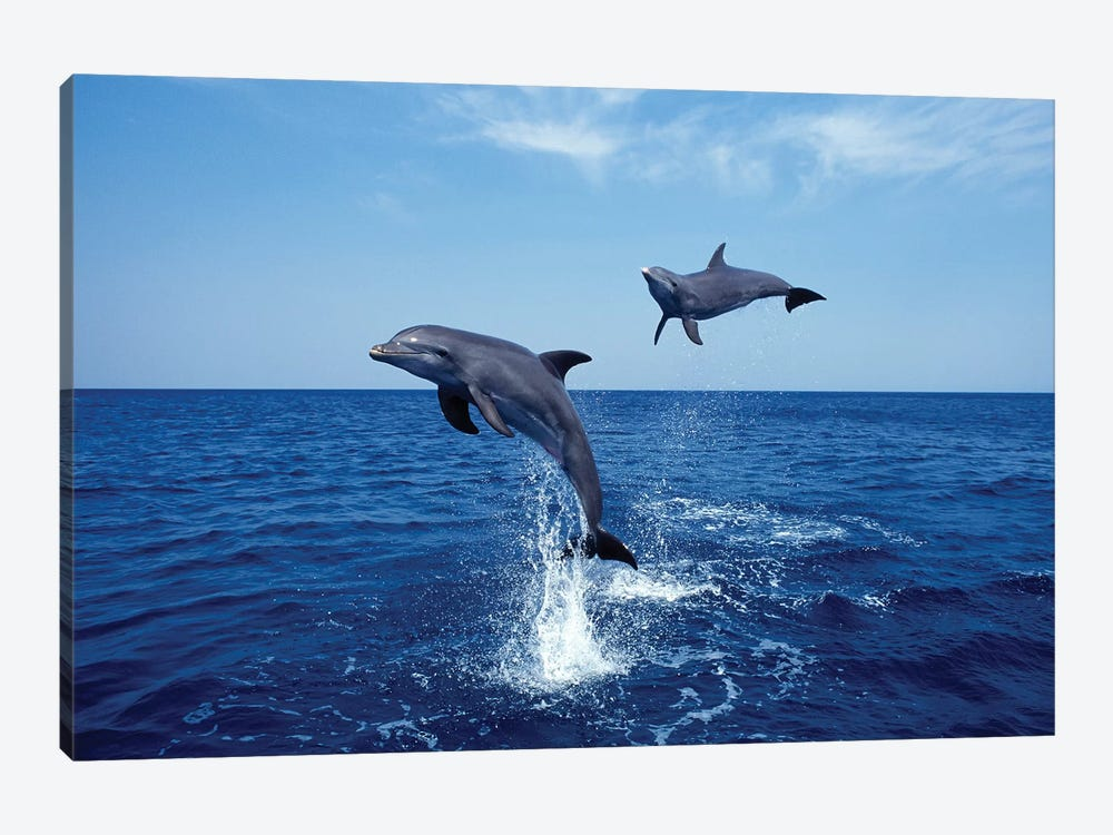 Bottlenose Dolphin In The Caribbean, Off Roatan Island, Honduras IV by VWPics 1-piece Canvas Art Print