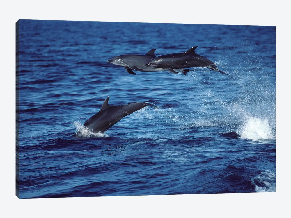 Bottlenose Dolphins In The Gulf Of California, Mexico by VWPics 1-piece Canvas Art
