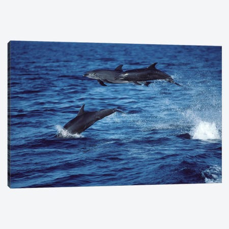 Bottlenose Dolphins In The Gulf Of California, Mexico Canvas Print #TRK2166} by VWPics Canvas Artwork