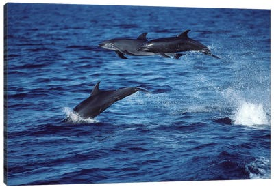 Bottlenose Dolphins In The Gulf Of California, Mexico Canvas Art Print