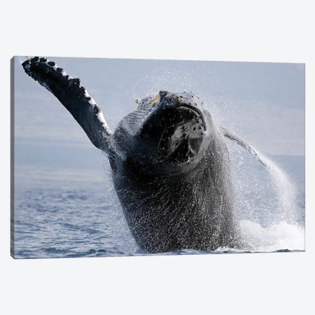 Breaching Humpback Whale, Megaptera Novaeangliae, Hawaii I Canvas Print #TRK2167} by VWPics Canvas Artwork