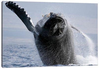Breaching Humpback Whale, Megaptera Novaeangliae, Hawaii I Canvas Art Print