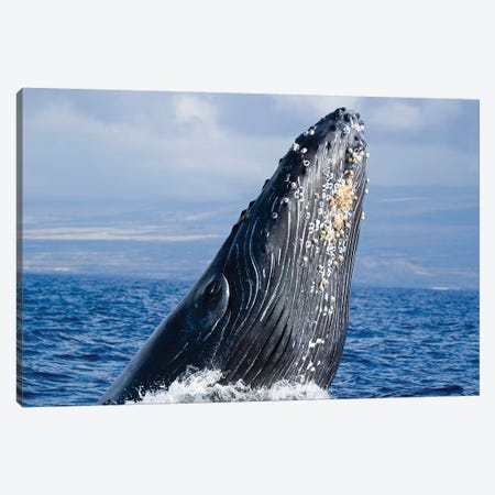 Breaching Humpback Whale, Megaptera Novaeangliae, Hawaii II Canvas Print #TRK2168} by VWPics Canvas Print
